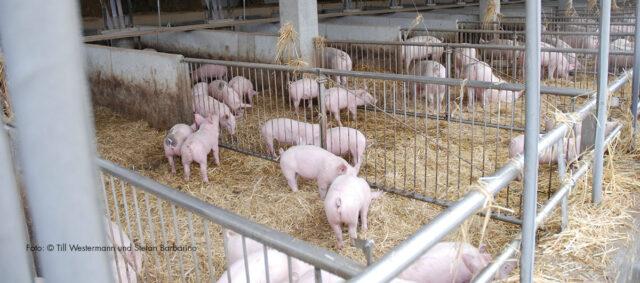 Schweine im Stroh Doimahof