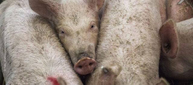 Ein Schwein im gedränge