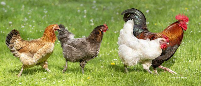 Drei Huehner und ein Hahn rennen ueber eine Wiese