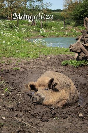 Ein Wollschwein suhlt sich im Schlamm