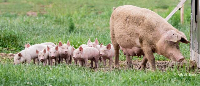 Viele Ferkel mit ihrer Muttersau auf einer Wiese