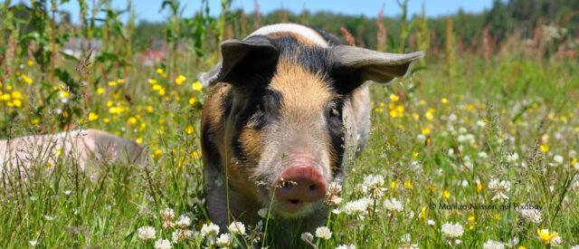 Ein buntes Schwein steht auf einer Blumenwiese und schaut den Betrachter an