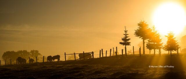 Eine Weide bei aufgehender Sonne, die den Himmel in güldenes Licht taucht. Davor heben sich dunkel ein Wiese mit ein paar Bäume, ein Holzzaun und grasende Rinder ab.