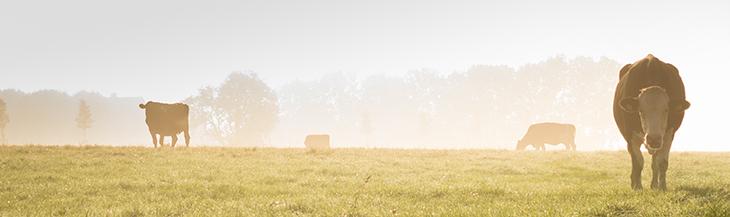 Landschaft mit Rindern auf einer Weide bei diesigem Wetter am Morgen.