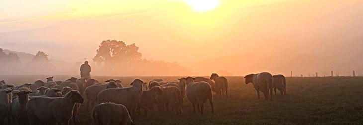 Hirte mit Schafherde auf einer Weide im Nebel und einer tief stehenden Sonne, die den Himmel gelb färbt