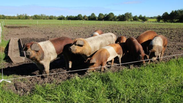 Eine Gruppe Rotbunte Husumer Schweine steht an einem Tränkebecken