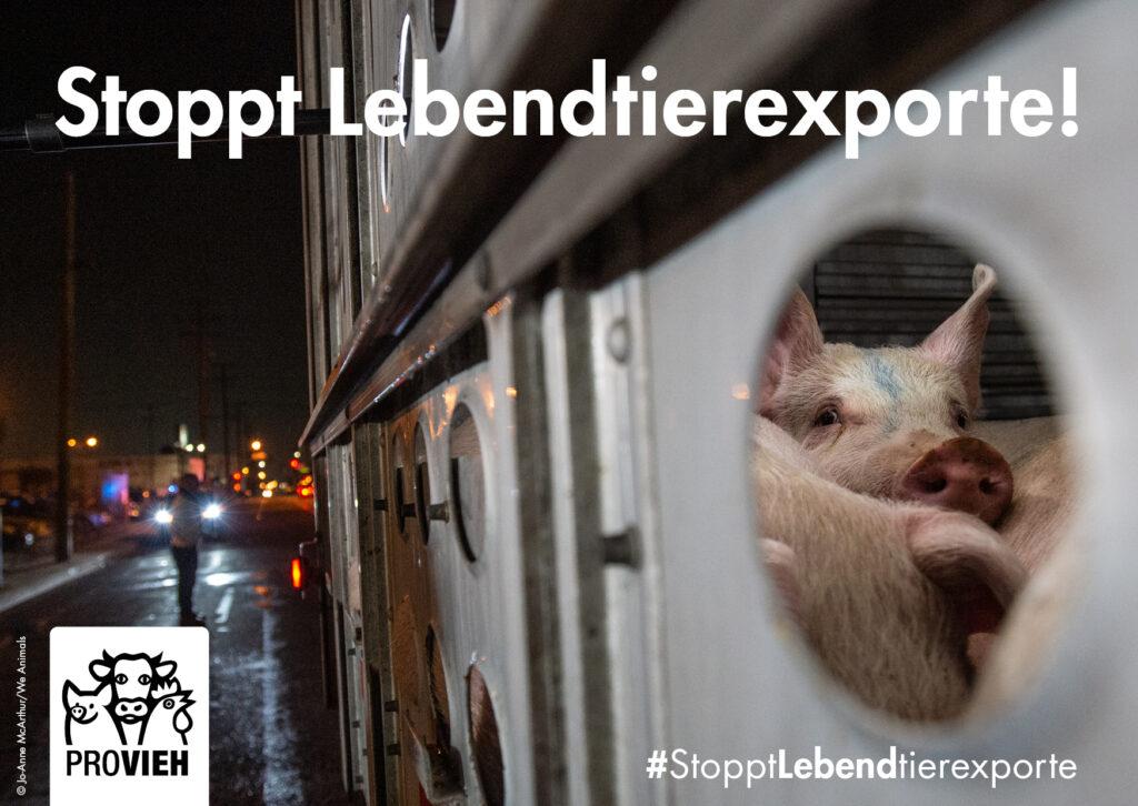 Schweine im Transporter bei Nacht