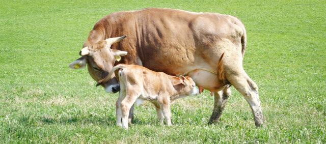 Ein Kalb trinkt am Euter seiner Mutter. Einer braunen Kuh mit Hörnern. Sie stehen auf der Weide.