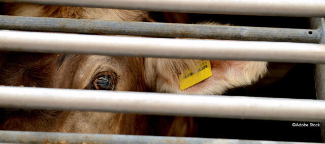 Eine Kuh hinter Gittern schaut einen aus Transporter an