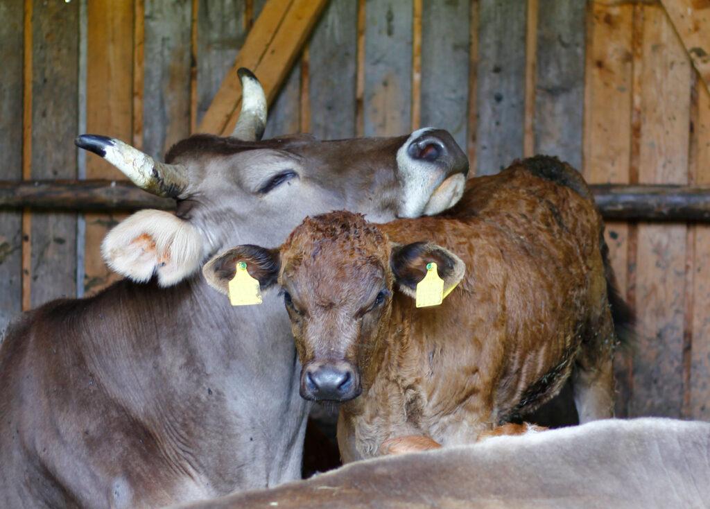 Mutterkuh und Kalb kuscheln im Stall