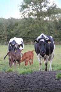 Zwei Kühe mit ihren Kälbern auf einer Wiese