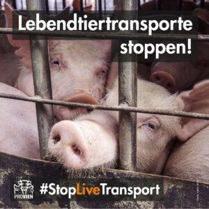 Viele Schweine hinter Gittern, eng aneinander