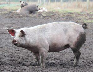 Ein ausgewachsenes Schwein steht im Schlamm auf einer Wiese