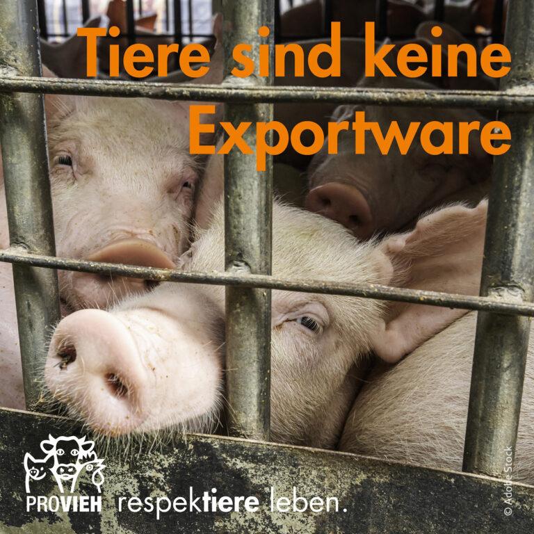 Viele Schweine hinter Gitter, eins hält seine Nase durch das Gitter