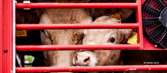 Kuh und Kalb im Tiertransporter