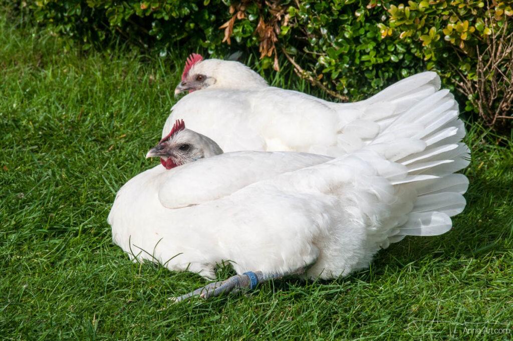Zwei Ramelsloher Hühner in der Sonne