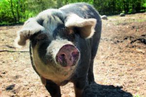 Dänisches Sortbroget Schwein in der Sonne