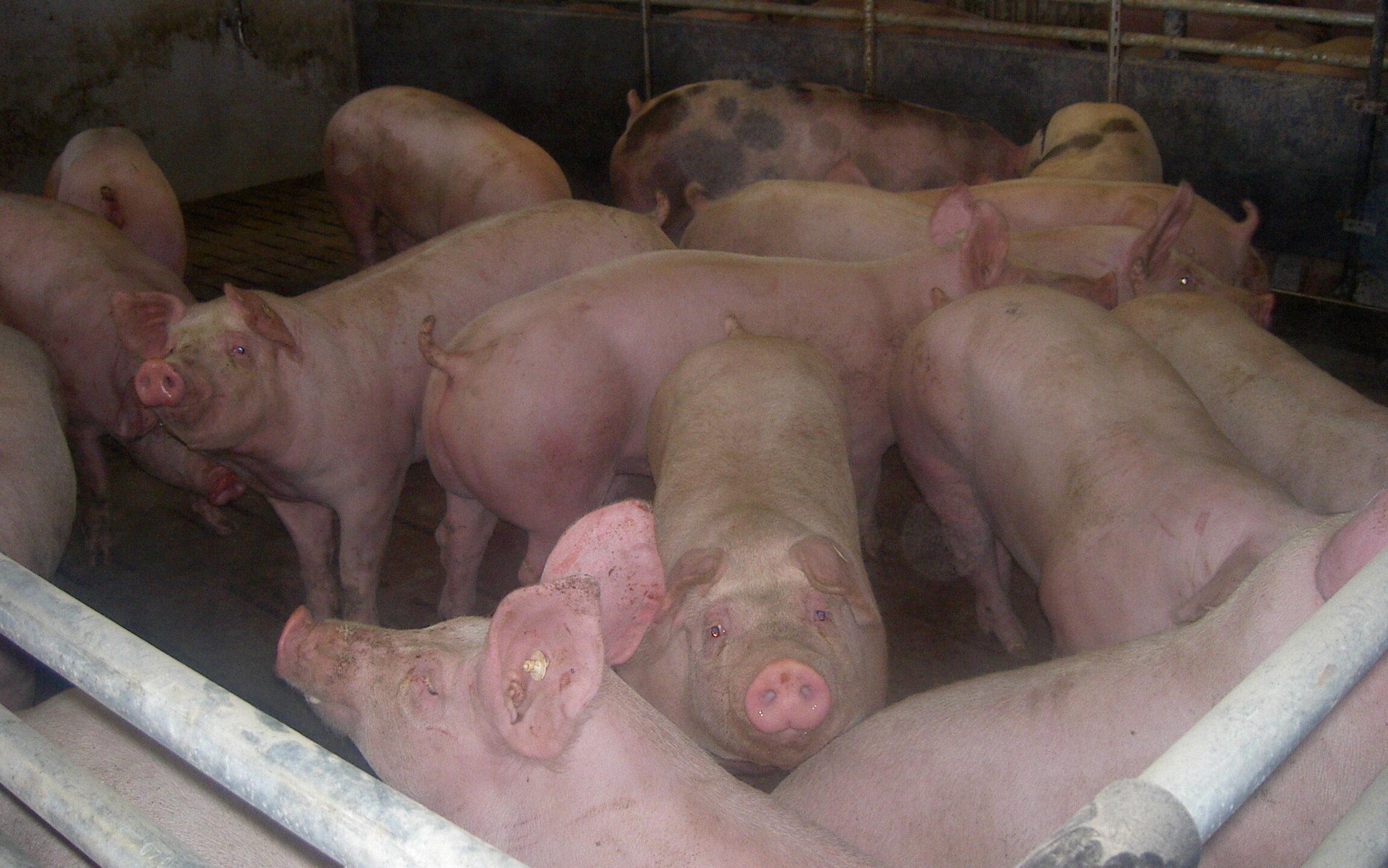 konventionelle Schweinehaltung ohne Stroh und ohne Beschäftigungsmaterial
