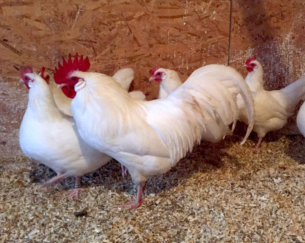 Ein Sachsenhahn und Hühner im Stall
