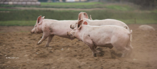 spielende Schweine in Freilandhaltung