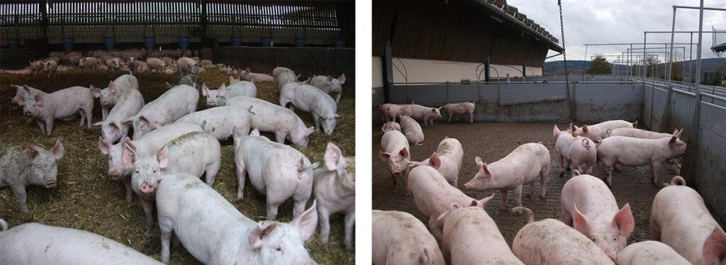 Ein Schweinestall mit Einstreu und Außenbereich als Alternative zu Enge und Bewegungsarmut.