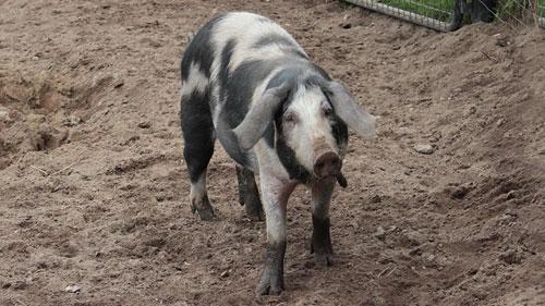 Dänisches Sortbroget Schwein draußen