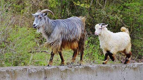 Zwei Ziegen auf einer Mauer