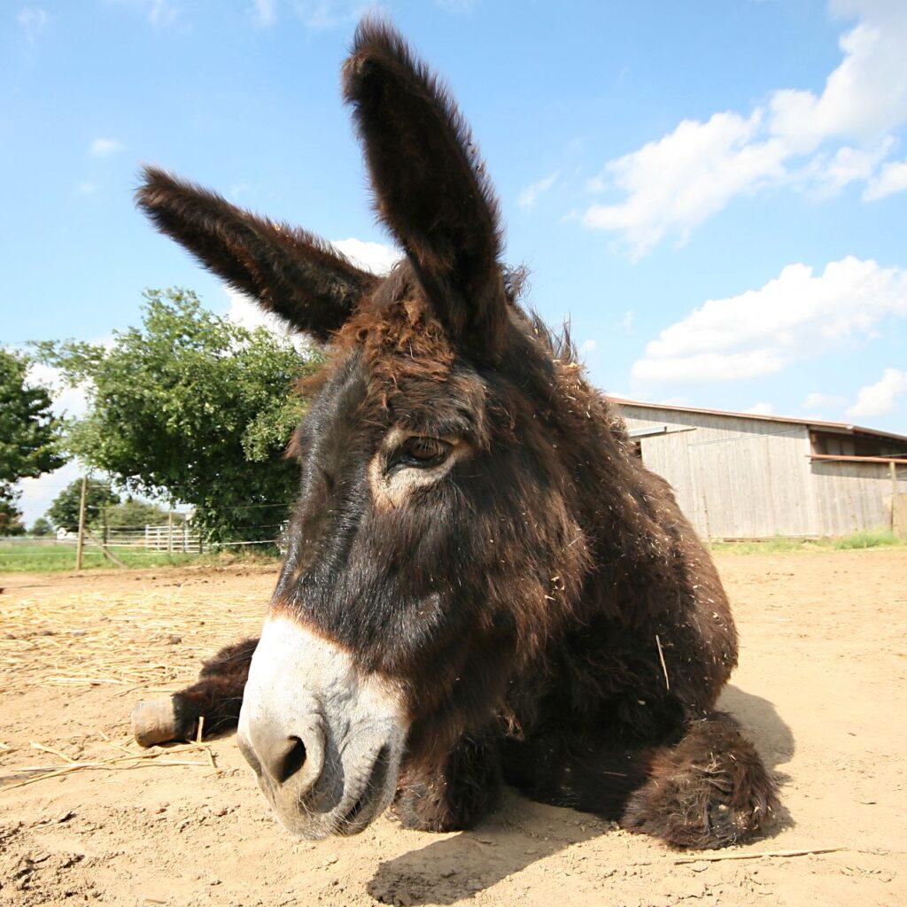 Ein liegender Katalanischer Esel