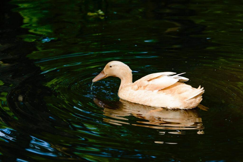 Eine schwimmende Orpington Ente