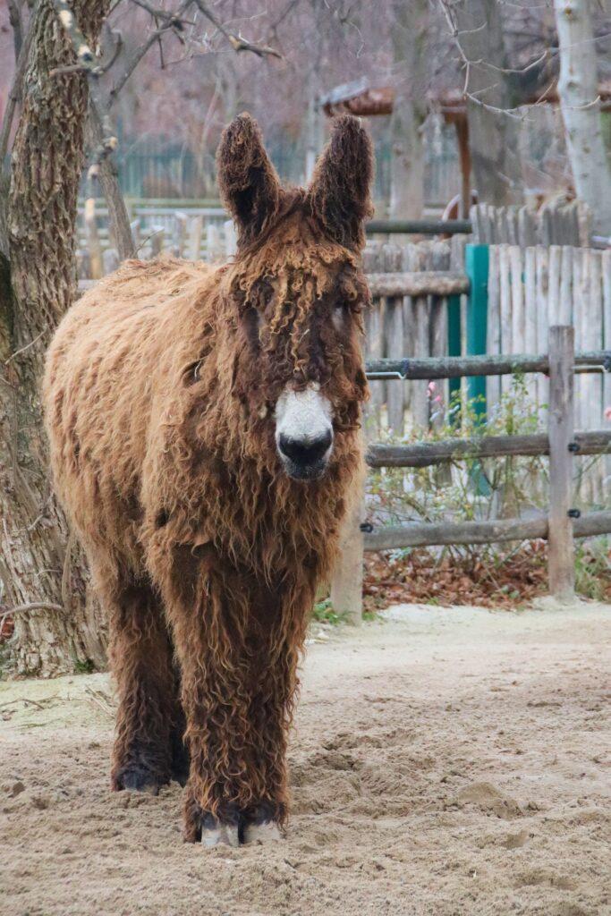 Ein Poitou-Esel
