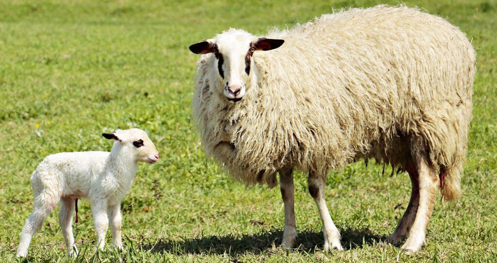 Ein Kärntner Brillenschaf mit ihrem Lamm auf einer Wiese