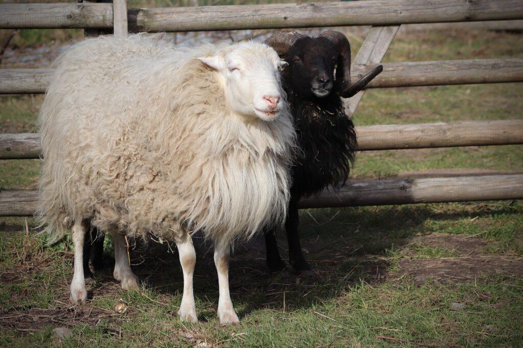 Ein weißes und ein schwarzes Skudden Schaf