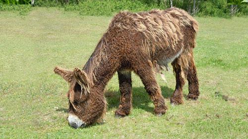 Ein Poitou-Esel auf einer Wiese