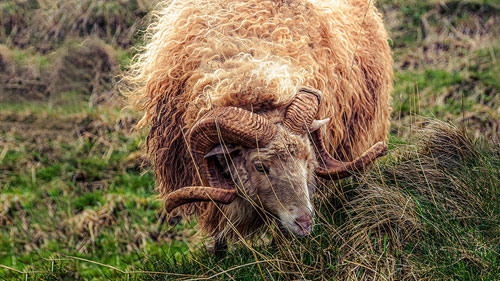 Eine Skudde Schaf frisst auf der Wiese