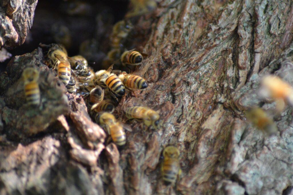 Wildbienen fliegen in einen Holzstamm