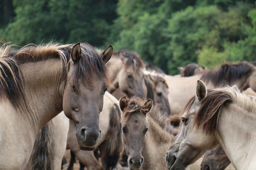 Eine Herde Dülmener Wildpferde