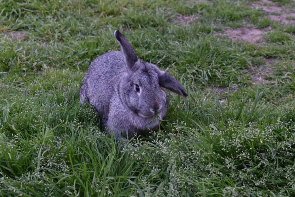 Der Meißner-Widder sitzt im Gras
