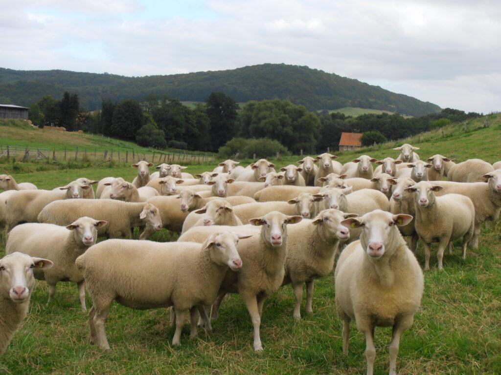 Eine Herde Leinenschafe auf einer Wiese