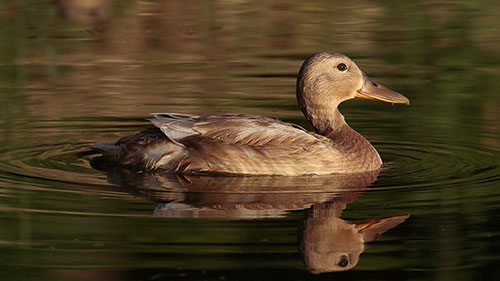 Eine Ente schwimmt auf einem See