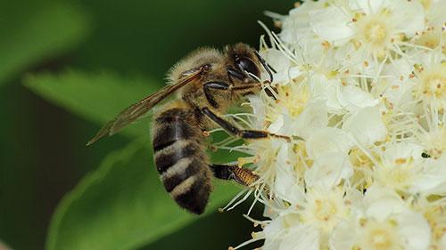 Eine Wildbiene an einer Blüte