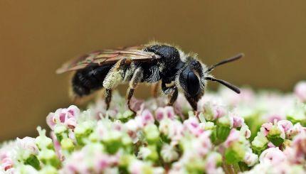 Loecherbiene, eine Wildbiene