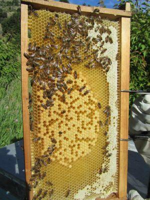 Eine Bienenwabe mir Bienen