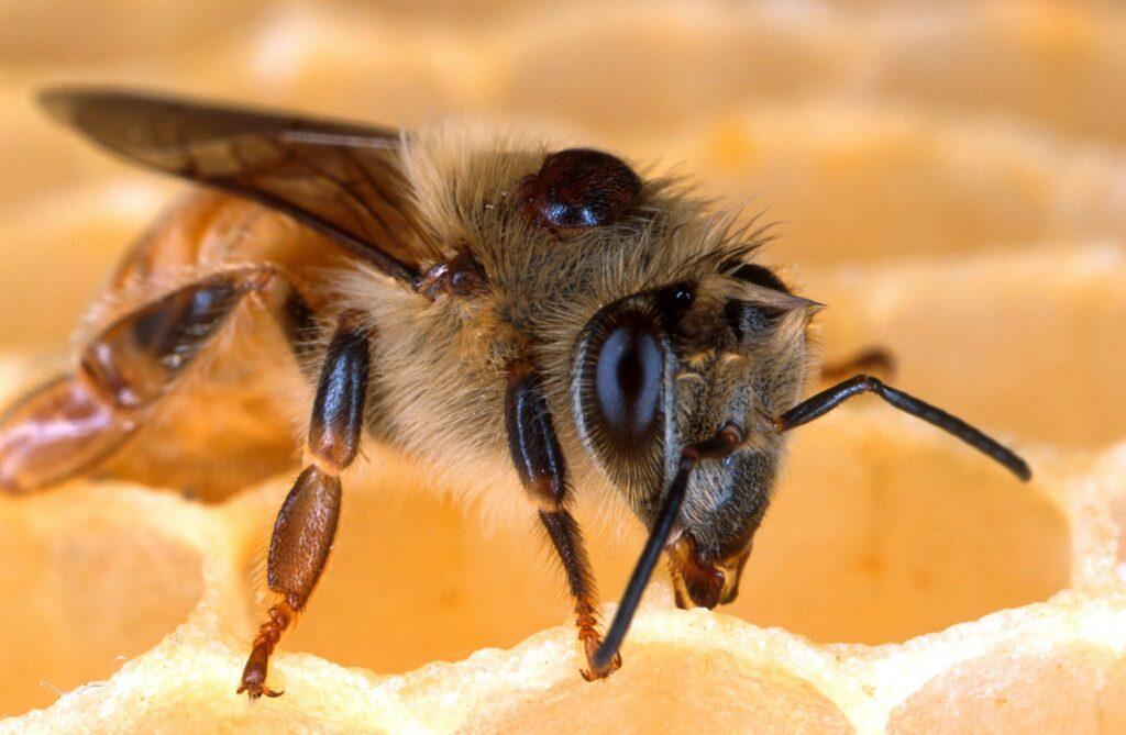 Eine Verroa Milbe sitzt auf der Biene