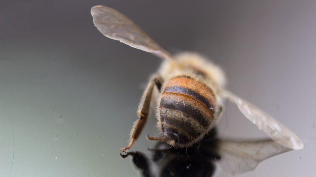 Bienen - eine tote Biene
