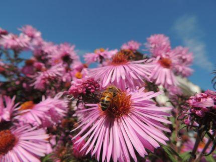 Eine Biene an einer rosa Blume