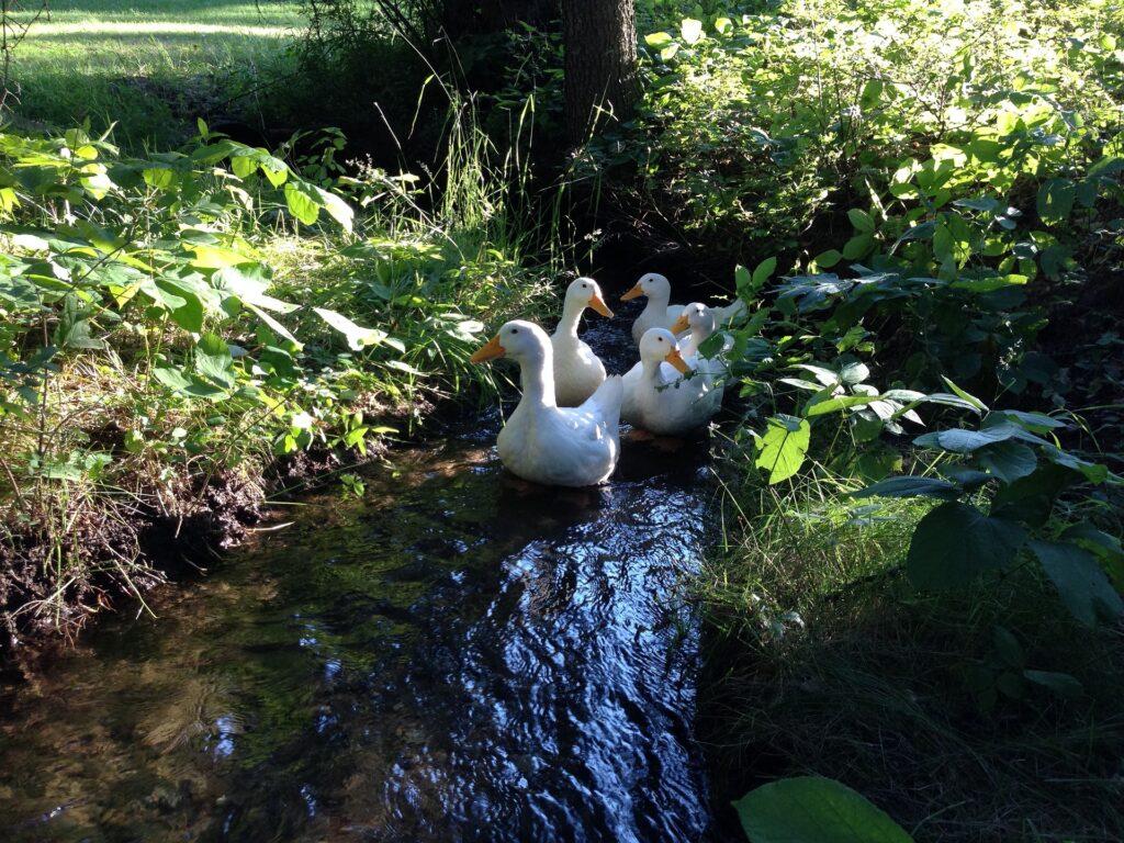 Pekingenten im Fluss