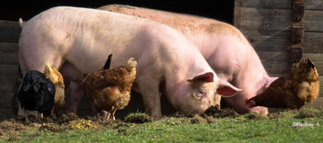 Zwei Schweine und Hühner genießen den Auslauf