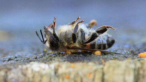 Eine tote Honigbiene