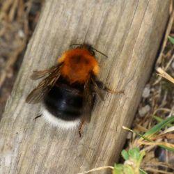 Eine Wildbiene auf einem Stamm