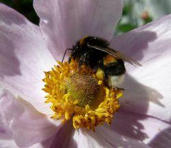 Eine fleißige Wildbiene